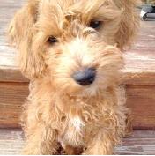Schnoodle Puppies Sale Fetchems PUPPYFINDER