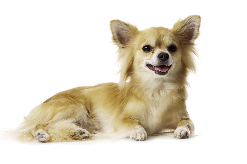 Chihuahua at Fetchem Puppy Finder