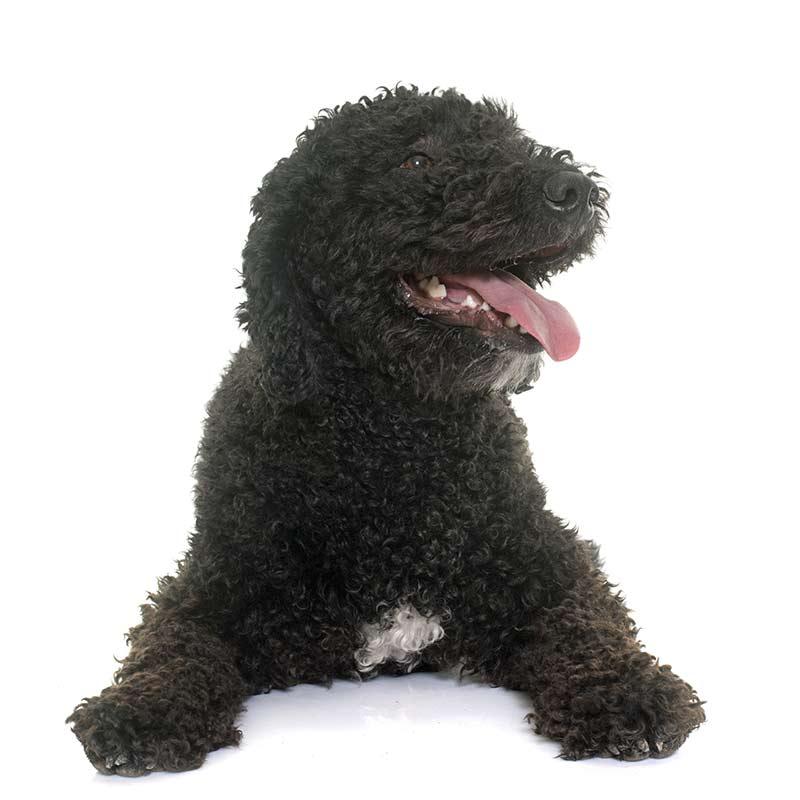 Portuguese Water Dog at Fetchem Puppy Finder