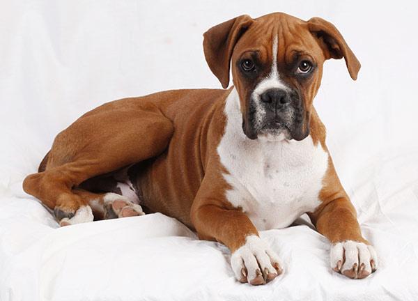 Boxer at Fetchem Puppy Finder
