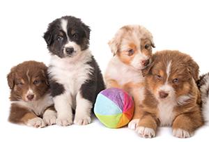 australian-shepherd-puppies-iconic-image-secondary