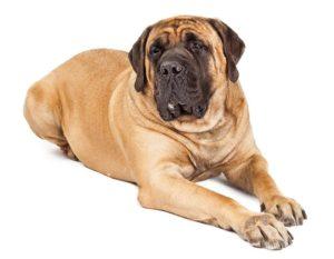 Mastiff