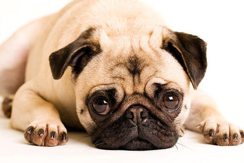Pug at Fetchem Puppy Finder