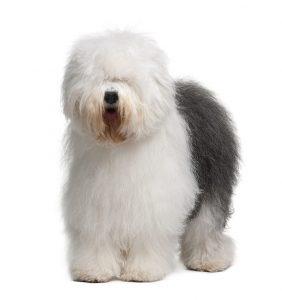 Old English Sheepdog Featured Image