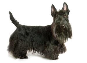 Scottish Terrier Featured Image