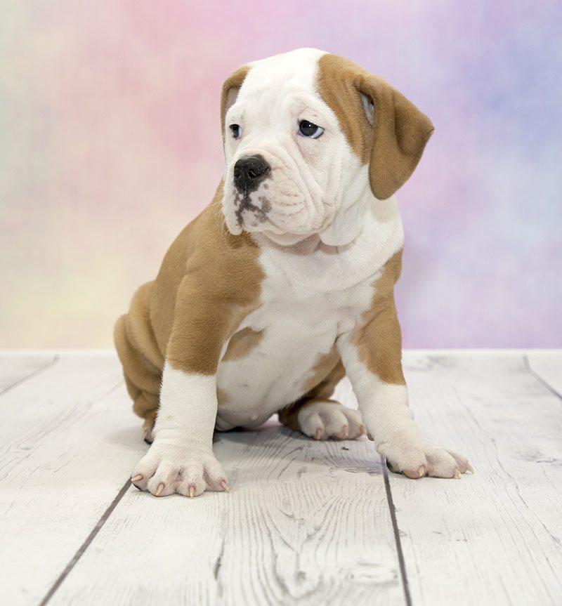 Victorian Bulldog Puppies Sale Local Breeders Fetchem Puppies