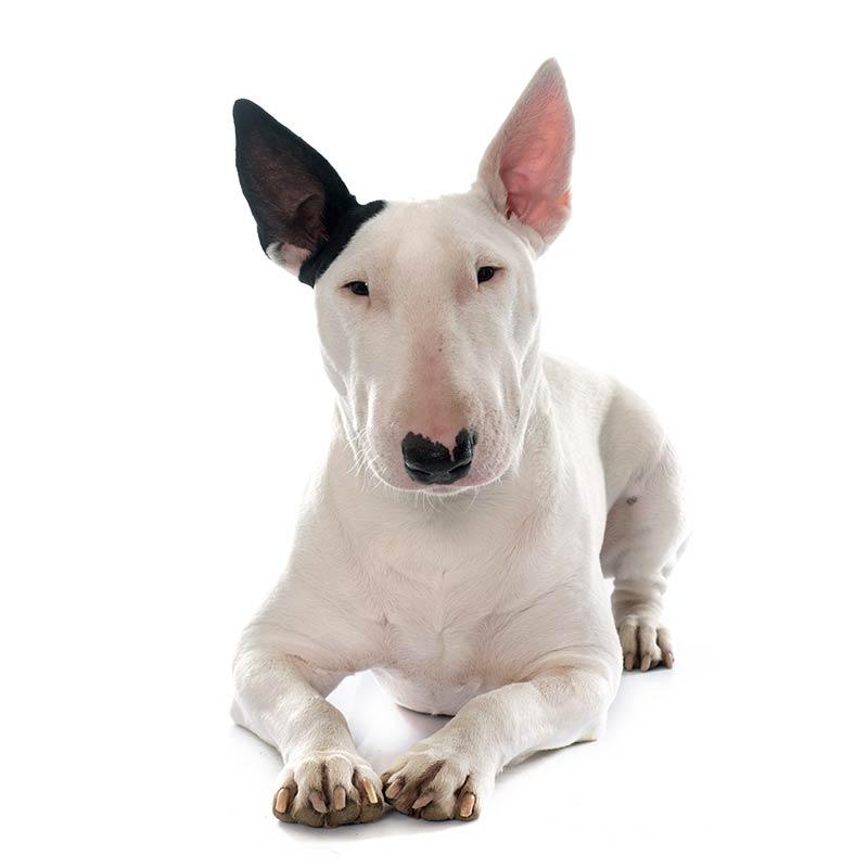 Bull Terrier at Fetchem Puppy Finder