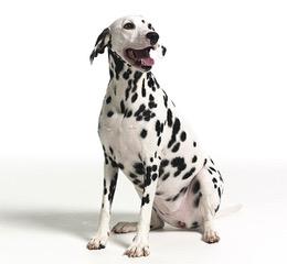 Dalmation at Fetchem Puppy Finder