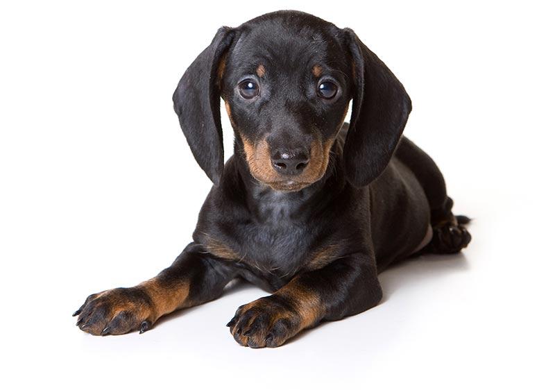 Dashchund at Fetchem Puppy Finder