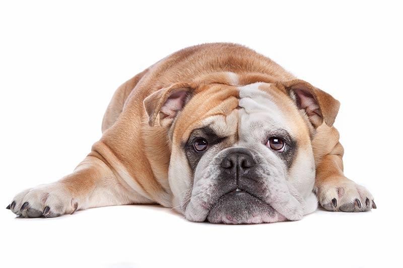 English Bulldog at Fetchem Puppy Finder