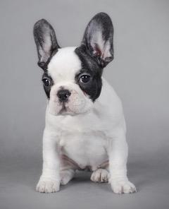 French Bulldog Puppy at Fetchem Puppy Finder