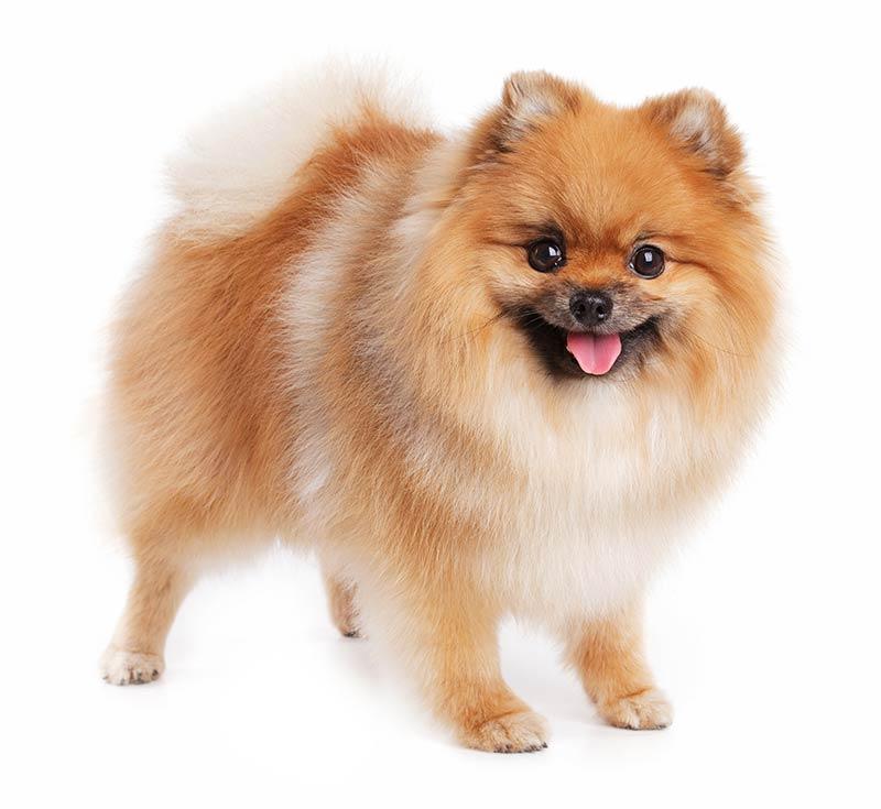 Pomeranian at Fetchem Puppy Finder