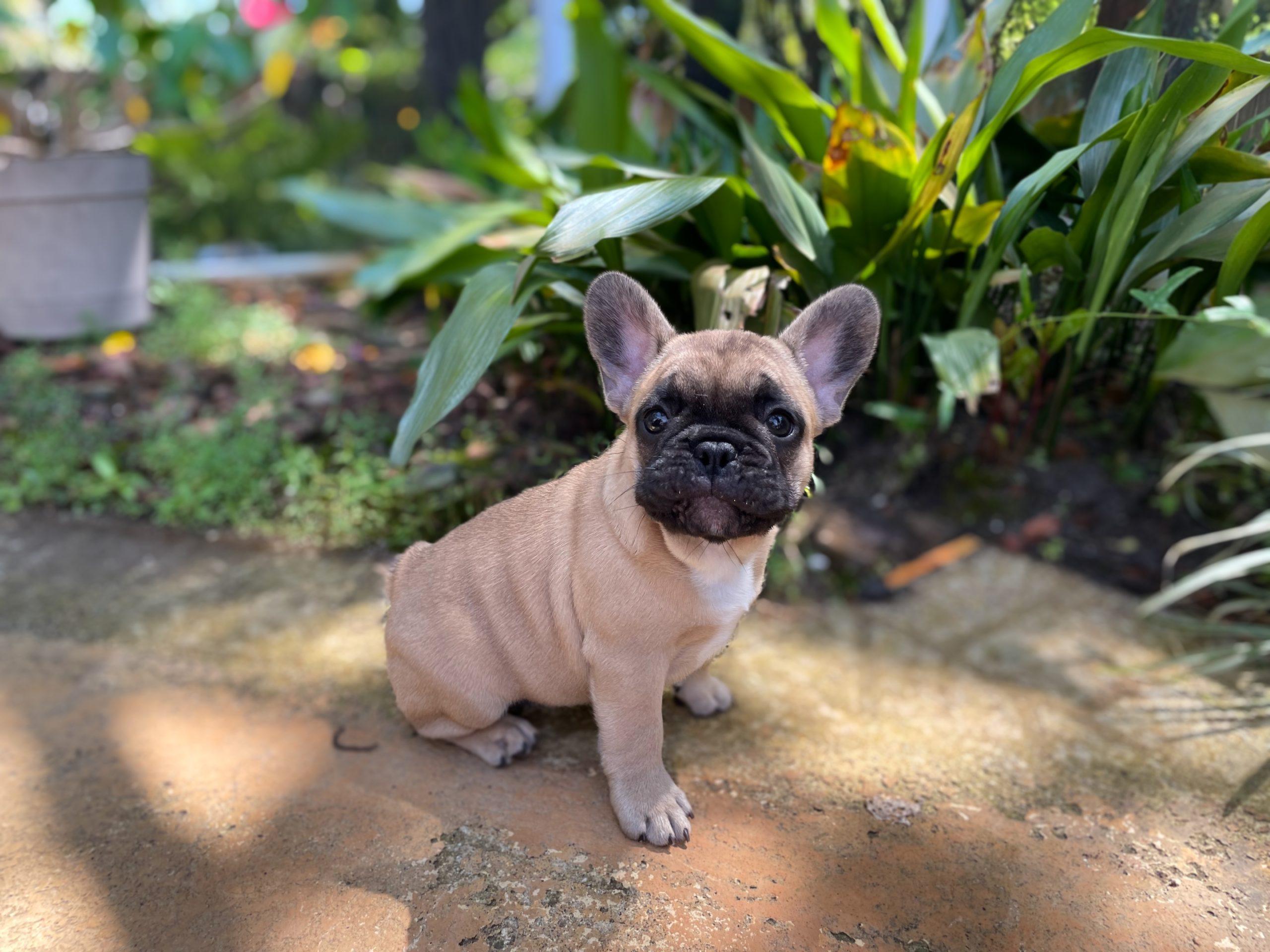 I Want a French Bulldog!